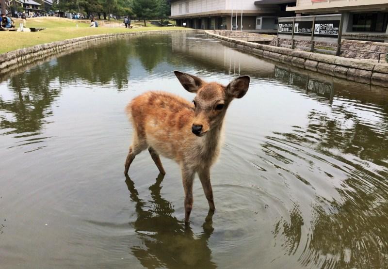 Nara deer 10