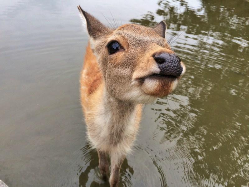 Nara deer 12