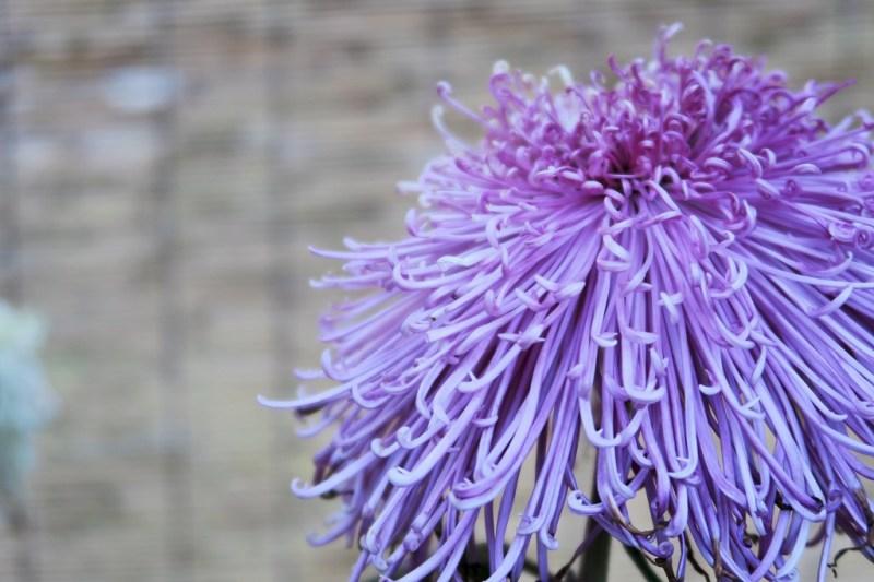 chrysanthemum-17