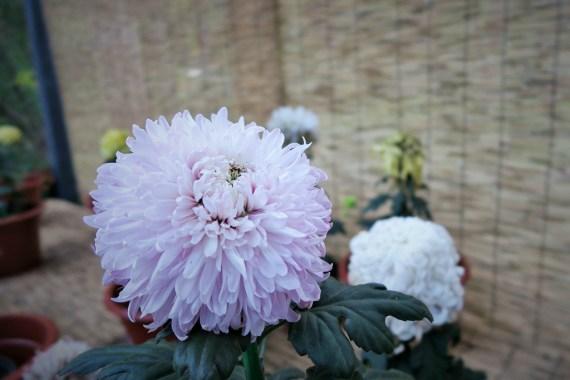 chrysanthemum-19
