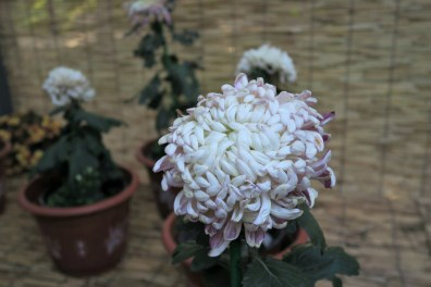 chrysanthemum-22