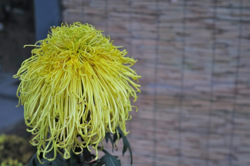 chrysanthemum-25