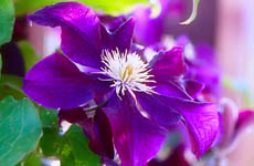 clematis home page