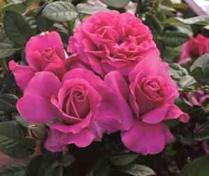 rose PrettyLadyRose