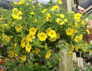 blooming hanging baskets
