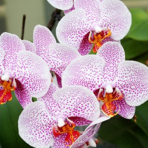 Orchids make great gifts
