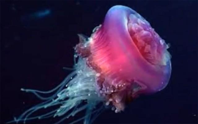 meduza jadransko more Drymonema dalmatinum