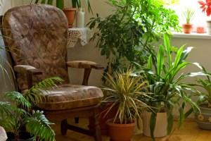 čistači zraka biljke fikus