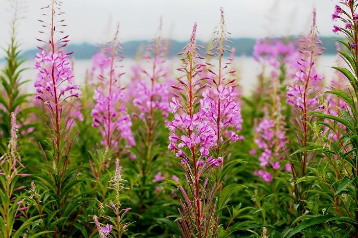 Преубави, но СМРТОНОСНИ: Овие растенија можат да убијат!