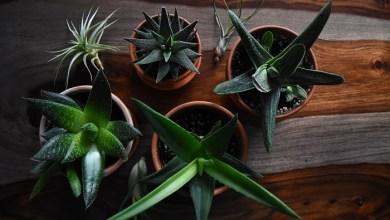 саксиски растенија