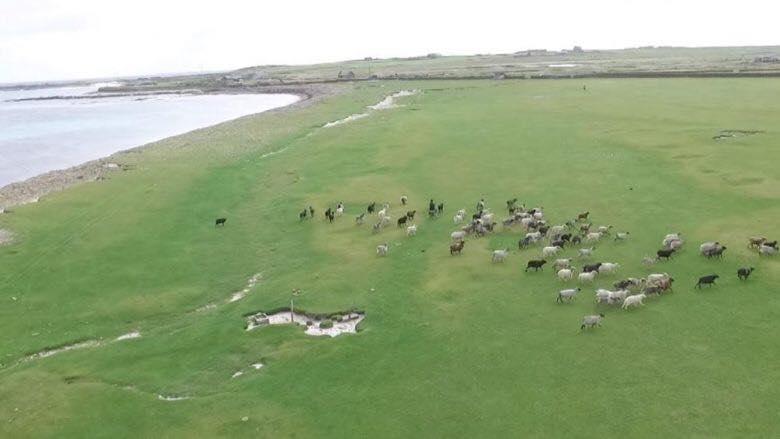 овци шкотска