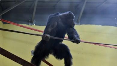 Шимпанзото Коко се врати дома