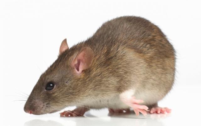 """Прв смртен случај од """"глувчја треска"""" во Албанија"""
