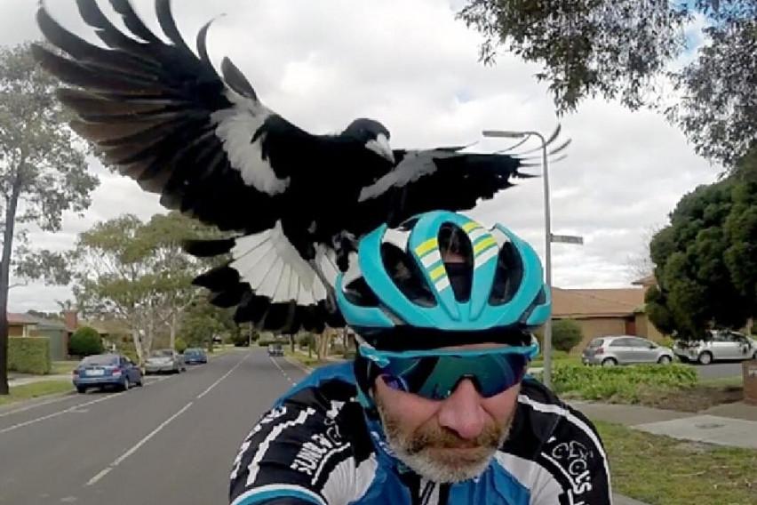 КАКО НА ФИЛМ ОД ХИЧКОК: Агресивни птици напаѓаат луѓе, еден велосипедист загина!