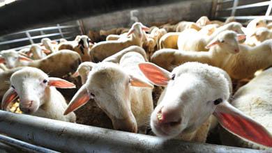 Земјоделците од Малешевијата разочарани: Ниски откупни цени на јагнето, млекото и компирот