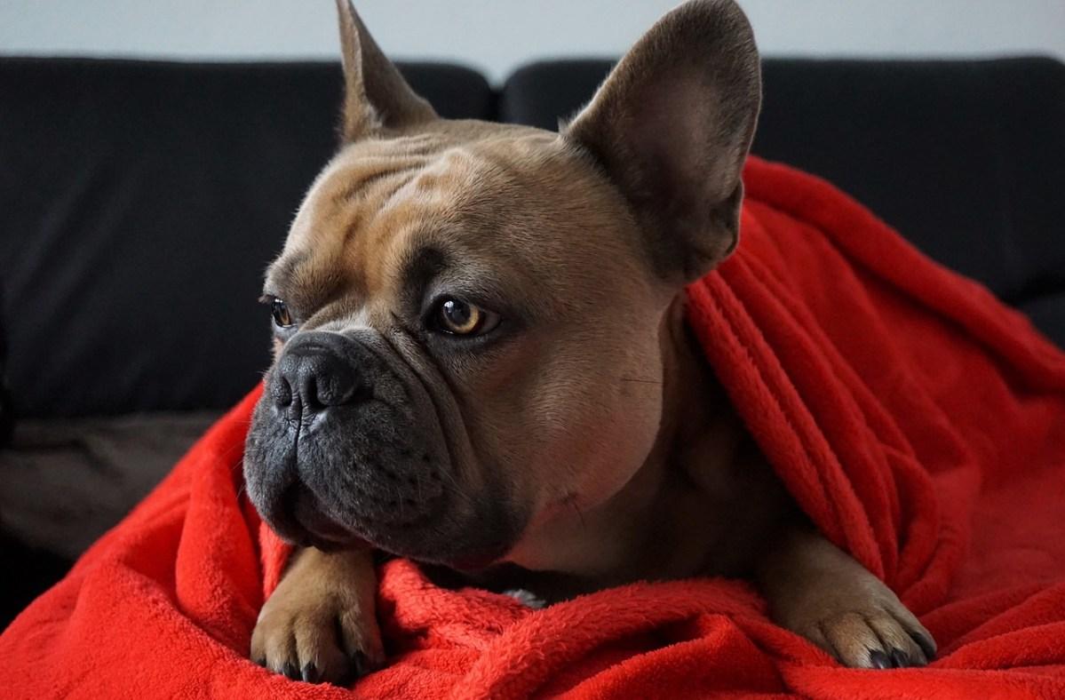 Ова е најгласното рчење на куче што некогаш ќе го слушнете!
