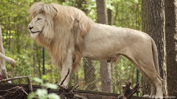 Крвава глетка во зоолошка: Се обидел да го нахрани лавот, па за малку ќе останел без рака (ВИДЕО)