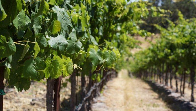 Grape vine lines (1024x580)