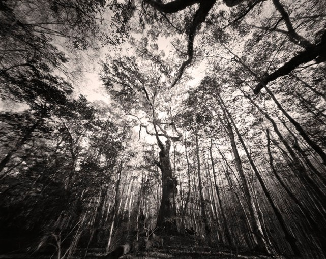 Hampton Tree © Nancy Marshall