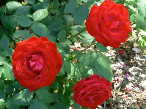 rosered3