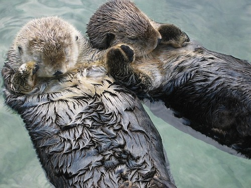 Sea-otters-holding-hands-Author-joemess-from-austin