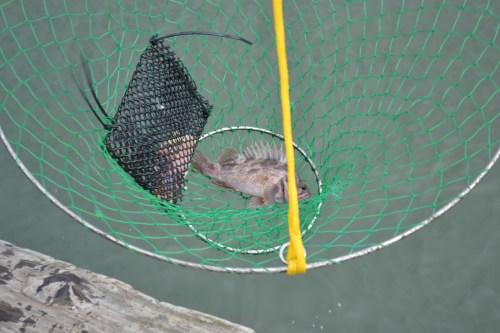 SFBay_Crabbing_11
