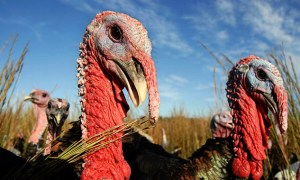 heritage-turkeys