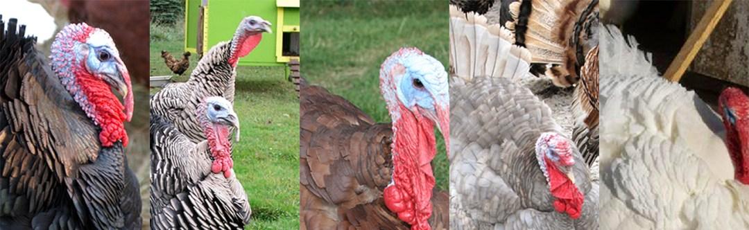 Heritage Breed Turkeys: Bronze, Narragansett, Bourbon Red, Black, Slate, Lavender, Royal Palm and Midget White