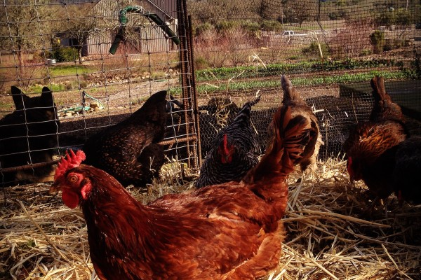 Chickens at the farm; they produce a lot of eggs.
