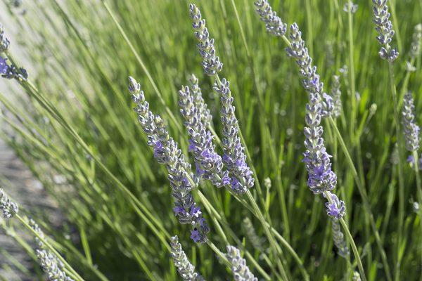 13450 Sonoma Highway 12, Glen Ellen, CA 95442 – Lavender