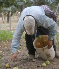 Collecting Gravenstein apples from the orchard floor