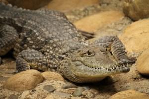 crocodile-787142_640