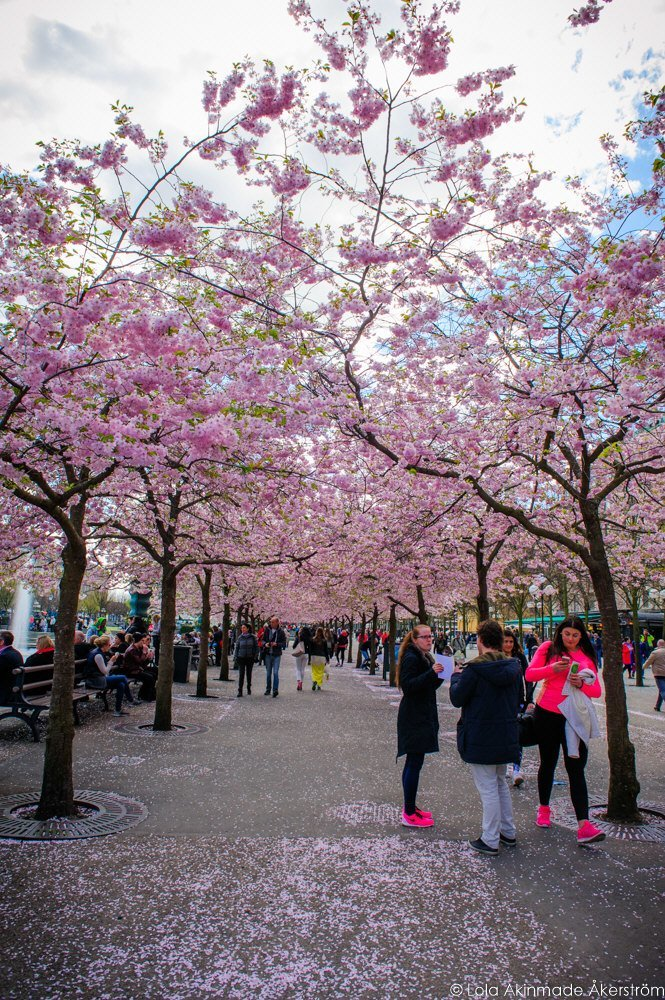 2015_CherryBlossoms_012