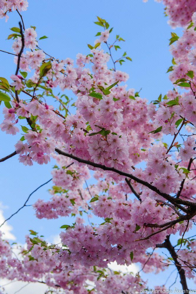 2015_CherryBlossoms_014