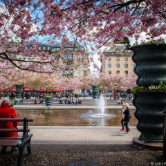 Photos: Cherry Blossoms in Stockholm 2015