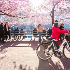 Photos: Cherry Blossoms in Stockholm 2016