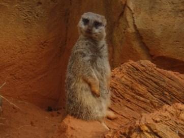 Vigilant guard meerkat