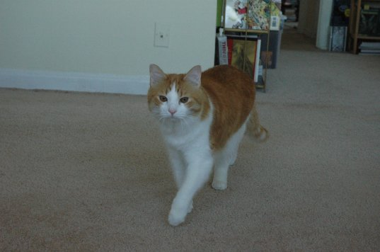 Hodge the cat trotting