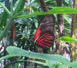 Red Heliconius doris