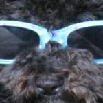 Small Poodle at Large | Harper B. | Header