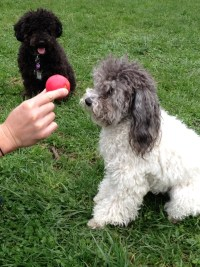 Chloe is a Certified Advanced Ball Meditator. She travels the country teaching poodles and other dogs to develop focus and discipline.