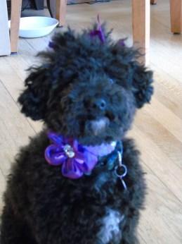 Small Poodle at Large | Harper B. | I-paw playlist | Dog Blog