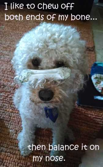 Small Poodle at Large | Dog Blog | Secret Bark