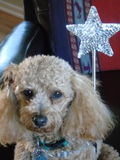 "Winnie is our staff astrologer at Small-Poodle-at-Large. ""It's just as important for a dog to know when mercury is in retrograde as a human,"" reveals Winnie. ""Astrology is a great resource for dogs."""