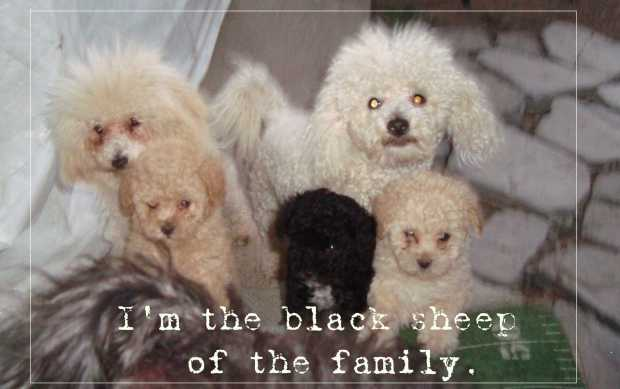 Small Poodle at Large | Dog Blog | Harper B. | Secret Bark
