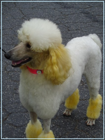 Small Poodle at Large   Poodle Day 2014