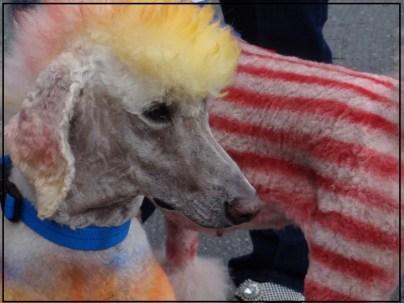 Small Poodle at Large | Dog Blog | Poodle Day Carmel