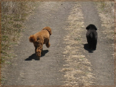 Small Poodle at Large | Harper B. | Dog Blog | Dogs Without Leashes