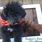 Small Poodle at Large | Harper B. | Dogwart's