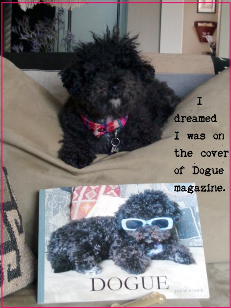 Small Poodle at Large | Harper B. | Secret Bark | A Dogue Dream